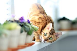 Bengal cat walking on a windowsill