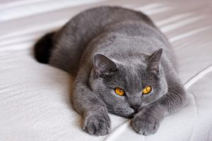 Grey british shorthair cat with golden eyes lying down