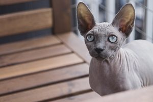 Grey sphynx cat with blue eyes