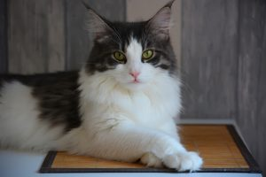 White and Grey maine coon cat