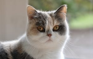 Persian cat staring straight at the camera