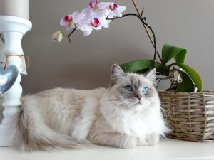 Ragdoll cat next to a pretty flower