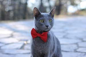 Russian blue cat with red bowtie