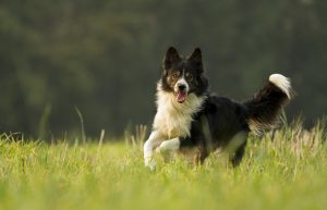 Border collie running through fields