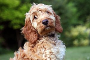 brown-and-white-cockapoo