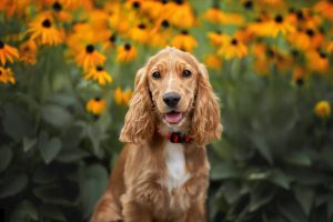 Cocker spaniel puppy in front of flowers
