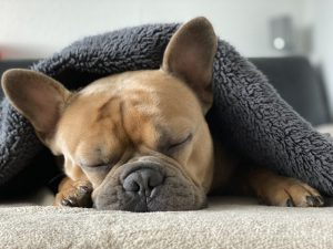 French bulldog asleep