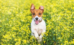 Jack russel terrier running amongst flowers