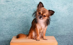 Long haired chihuahua