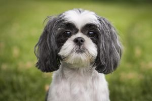 cute shih tzu dog